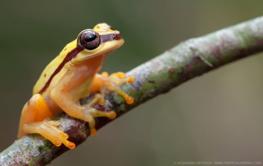Red-skirted tree frog from Nangaritza, one of the habitats protected through WLT's Carbon Balanced programme that Ingles and Hayday support